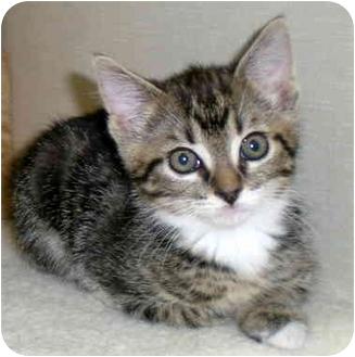 Domestic Shorthair Kitten for adoption in Troy, Michigan - Starla