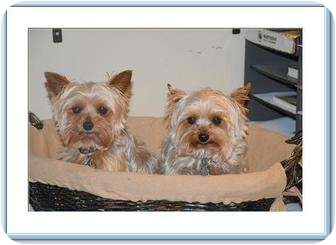 Yorkie, Yorkshire Terrier Dog for adoption in Greensboro, North Carolina - Gypsy & Ginger