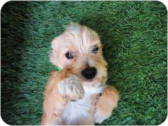 Cairn Terrier Mix Puppy for adoption in Mission Viejo, California - Jasper