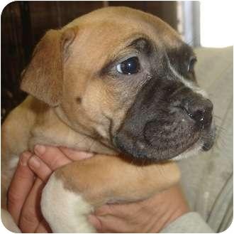 Boxer/Vizsla Mix Puppy for adoption in Old Bridge, New Jersey - Florida