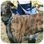 """Photo 1 - Greyhound Dog for adoption in Smyrna, Tennessee - Blazing Myles """"Slim"""""""