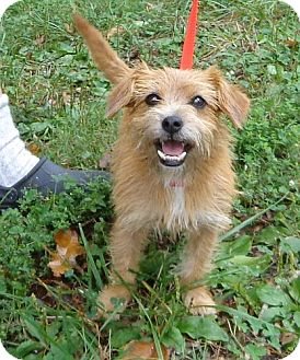 Norwich Terrier Mix Dog for adoption in Beacon, New York - Juliet