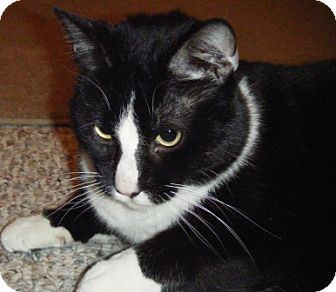 Domestic Shorthair Cat for adoption in Kensington, Maryland - Champ