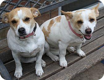 Corgi/Beagle Mix Dog for adoption in Kendalia, Texas - Velma