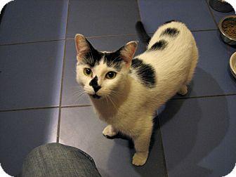Domestic Shorthair Cat for adoption in Brooklyn, New York - Faith