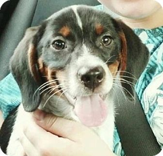 Pointer Mix Puppy for adoption in Gainesville, Florida - Chloe