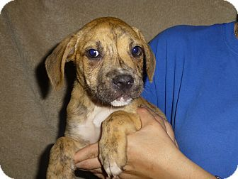 Boxer Mix Puppy for adoption in Oviedo, Florida - Champ