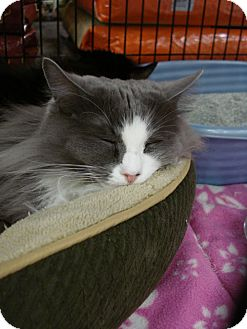 Domestic Longhair Cat for adoption in Monrovia, California - Persia