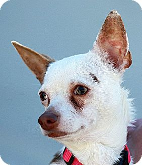 Chihuahua Dog for adoption in Berkeley, California - Patches