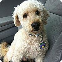 Adopt A Pet :: MA - Kobi - W. Warwick, RI