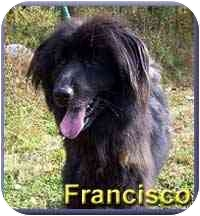 Afghan Hound Mix Dog for adoption in Aldie, Virginia - Francisco