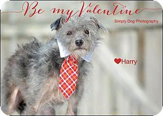 Italian Greyhound/Chinese Crested Mix Dog for adoption in Dublin, Ohio - Harry