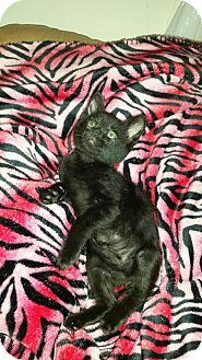Domestic Shorthair Kitten for adoption in Montclair, California - Pete
