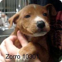 Adopt A Pet :: Zorro - Greencastle, NC