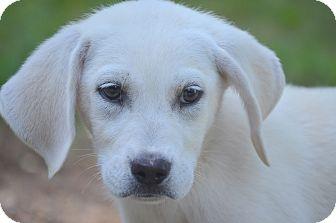 Labrador Retriever Mix Puppy for adoption in Spring City, Pennsylvania - Bessy