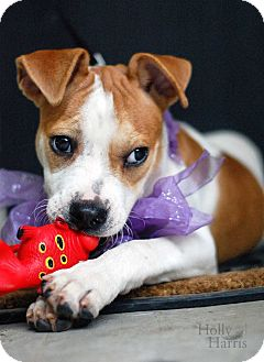Terrier (Unknown Type, Medium)/Beagle Mix Dog for adoption in Baton Rouge, Louisiana - Clementine