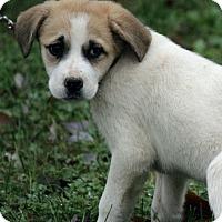 Adopt A Pet :: Sassa - Brattleboro, VT