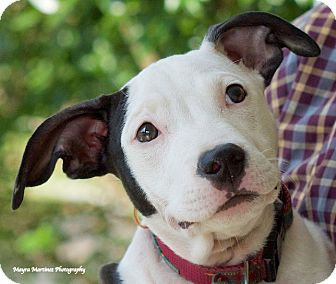 Terrier (Unknown Type, Medium)/Bull Terrier Mix Dog for adoption in Huntsville, Alabama - Polly