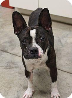 Boston Terrier Dog for adoption in Weatherford, Texas - Emmett