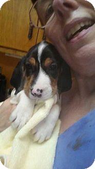 Basset Hound/Beagle Mix Puppy for adoption in Danbury, Connecticut - Bebe