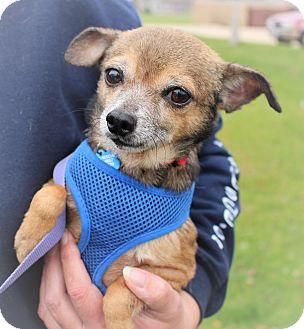 Chihuahua Mix Dog for adoption in Lisbon, Iowa - Pedro