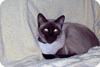 Siamese Cat for adoption in Laguna Woods, California - Koko