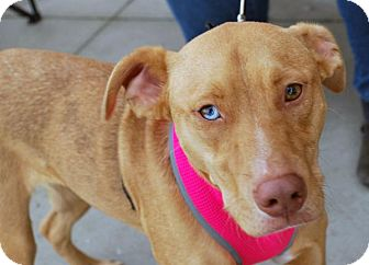 Catahoula Leopard Dog Mix Dog for adoption in Madison, Alabama - Sky Ellie