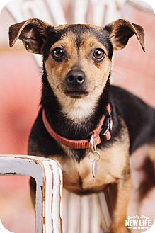 Dachshund/Rat Terrier Mix Dog for adoption in Portland, Oregon - Rocky
