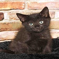 Domestic Mediumhair Kitten for adoption in Alameda, California - CASSIE