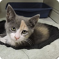 Adopt A Pet :: Darla - Massapequa, NY