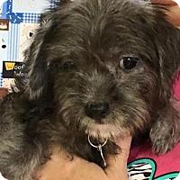 Adopt A Pet :: Chrys - Wharton, TX