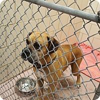 Adopt A Pet :: Colonel Sanders - Austin, TX