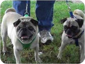 Pug Mix Dog for adoption in Freeport, New York - Elmo and Chico