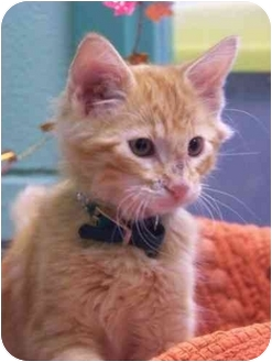 Domestic Mediumhair Cat for adoption in Brenham, Texas - Trick