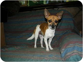 Chihuahua/Fox Terrier (Toy) Mix Dog for adoption in Mt Gretna, Pennsylvania - Wee Man