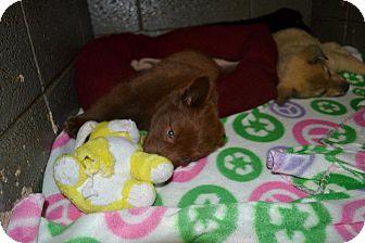 Labrador Retriever Mix Puppy for adoption in Henderson, North Carolina - Leo Lacy Levi
