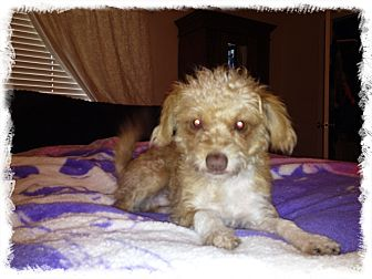 Poodle (Miniature)/Rat Terrier Mix Dog for adoption in Gilbert, Arizona - Gus
