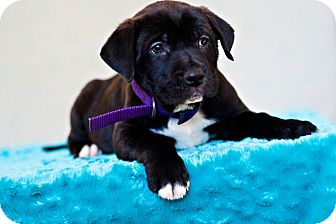 Labrador Retriever/Pit Bull Terrier Mix Puppy for adoption in Houston, Texas - Stacy