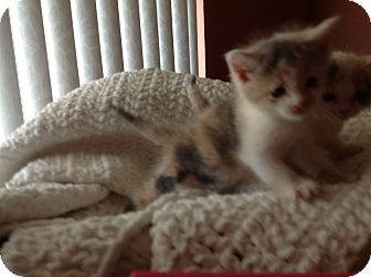 Domestic Shorthair Kitten for adoption in Tracy, California - Connie-ADOPTED!