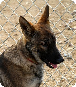 German Shepherd Dog Puppy for adoption in Phoenix, Arizona - Coto