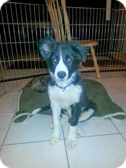 Border Collie Mix Puppy for adoption in Las Vegas, Nevada - Gizmo