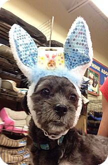 Shih Tzu/Poodle (Toy or Tea Cup) Mix Dog for adoption in Baton Rouge, Louisiana - Georgio