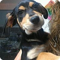 Adopt A Pet :: Saint - One big beautiful girl - Phoenix, AZ