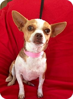 Chihuahua/Rat Terrier Mix Dog for adoption in San Diego, California - MITZY