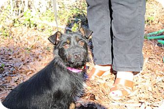 Wirehaired Fox Terrier Mix Dog for adoption in Hatifeld, Pennsylvania - Spring