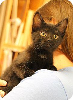 Domestic Shorthair Kitten for adoption in Huntsville, Alabama - Gogo