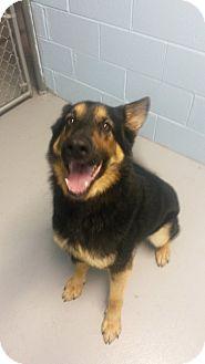 German Shepherd Dog Dog for adoption in Muskegon, Michigan - Kopac