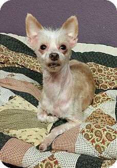 Chinese Crested Dog for adoption in Lisbon, Ohio - Dante- Adopted!