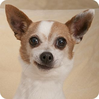 Chihuahua Dog for adoption in Chicago, Illinois - Buddy