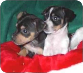 Miniature Pinscher/Schnauzer (Miniature) Mix Puppy for adoption in McArthur, Ohio - Nick and Noel
